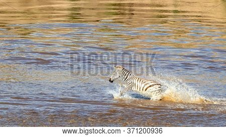 Young zebra, equus quagga, crosses the Mara River during the annual great migration in the Masai Mara, Kenya.