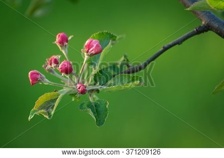 Flowering Branch Of Apple Tree Close Up
