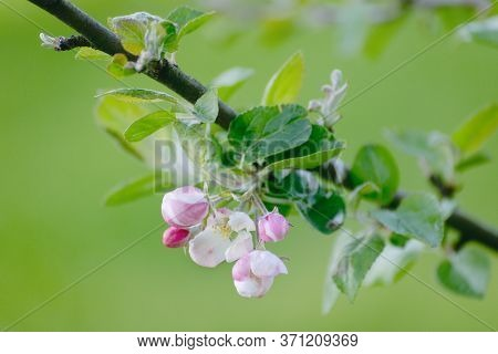 Flowering Branch Of The Apple Tree Closeup