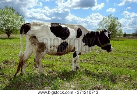 Black Motley Cow Stands On Green Grass In Meadow. Pasture. There Are Trees In Background. Blue Sky.