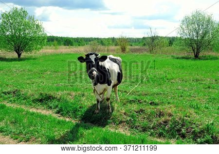 Cow On Green Meadow In Countryside. Pasture For Cattle. Cow In The Village In Fresh Air. White And B
