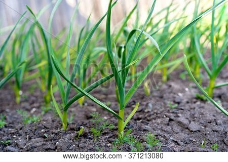 Beds With Young Onions, Rows Of Green Onions, Green Onions In The Ground