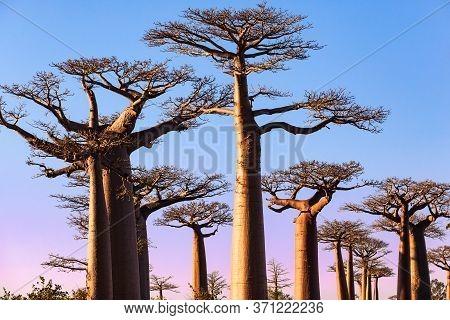Sunset At Baobabs Alley Morondava Madagascar . High Quality Photo