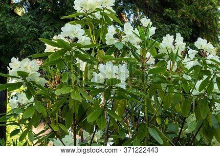 Philadelphus Coronarius (sweet Mock-orange, English Dogwood) White Spring Flowers Background. Select