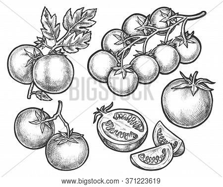 Set Of Tomato Sketches On Branch Or Stem