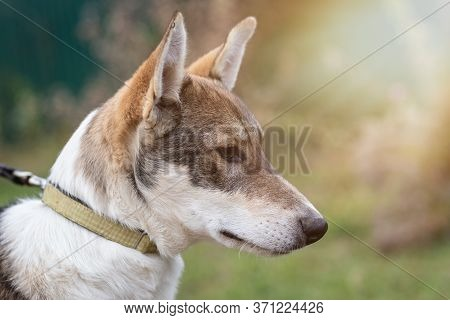 Portrait Of A Dog On A Leash In The Background Of The Forest.