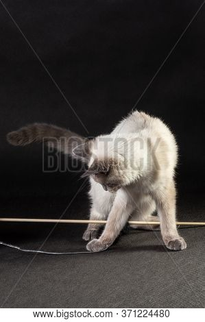 The Kitten Plays With A Rope On A Wooden Stick.