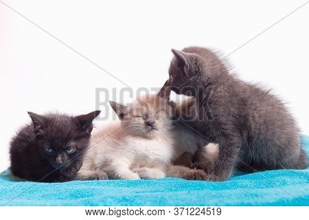 A Family Of Adorable Funny Little Kittens On A White Background. Sleepy Well-fed Kittens Are Gentle