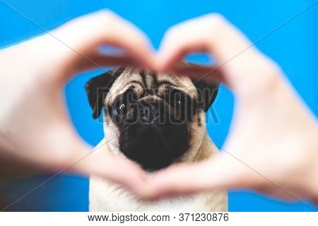 Human Hand Forming A Heart Shape Frame In The Foreground With A Pug Dog In The Middle On Blue Backgr