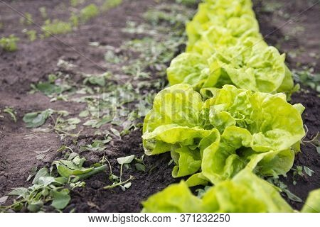 Summer Work In The Garden. Weeding, Weed Removal From Leaf Lettuce Beds