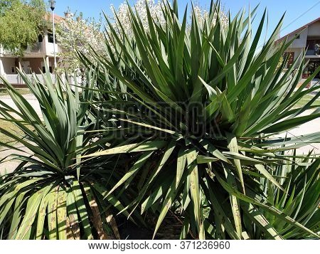 Agave Plant With Long Leaves. Several Agave Bushes. Gardening Of Parks, Personal Plots And Courtyard