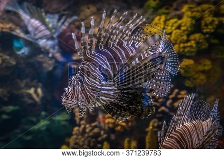 Picture Of Common Lionfish (pterois Miles) Underwater.