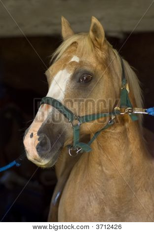 Palamino stallion is ready for grooming session poster