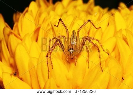 Macro Photography Of Jumping Spider On Yellow Marigold Flower