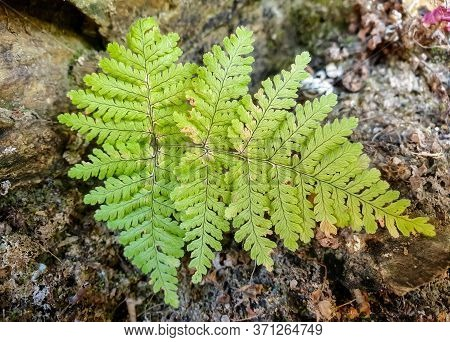 Capture Of Beautiful Green Color Leaf Over The Stone In Jungle With Selective Focus, Selective Focus