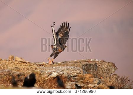 The Jackal Buzzard (buteo Rufofuscus) Flying Off With A Piece Of Meat From The Rock.colorful Rough B