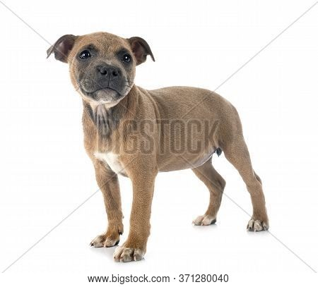Puppy Staffordshire Bull Terrier In Front Of White Background