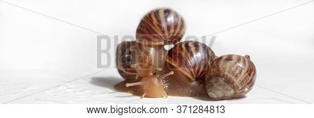 Garden Snails On A White Background. Studio Shot. Helix Aspersa Muller, Maxima Snail, Organic Farmin