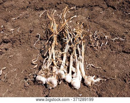 Small Batch Of Raw Garlic, Fresh Picked, In A Field.