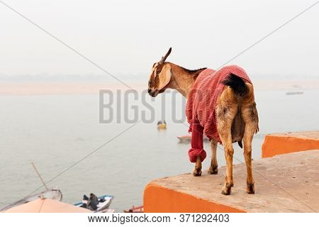 India. Fancy Animals. On The Ledge Is A Goat Dressed In A Sweater. The River Is In The Background. O