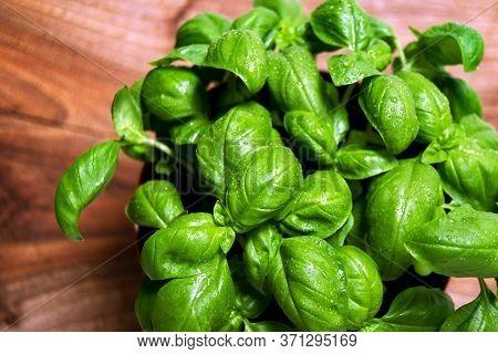 Green Leafs Of Genovese Basil (ocimum Basilicum) Culinary Herb Used For Genoese Pesto Sauce. Italian