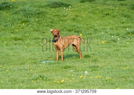 A Large Bitch With A Light Brown Coat Is Standing Far In The Green Meadow And Is Waiting For The Nex