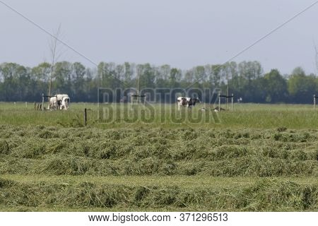 Mowed Hay On The Field, Grown By Farmers For Pasture, Hay And Stock Feed In The Hetherlands. Selecti