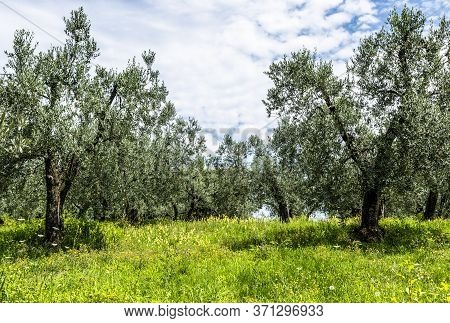 View Of A Green Olive Tree Orchard In Tuscany, Italy.