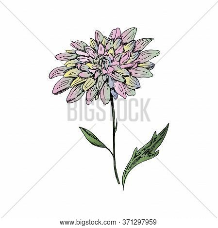 Chrysanthemum. Hand-drawn Chrysanthemum Flower. Isolated Vector Illustration On A White Background.