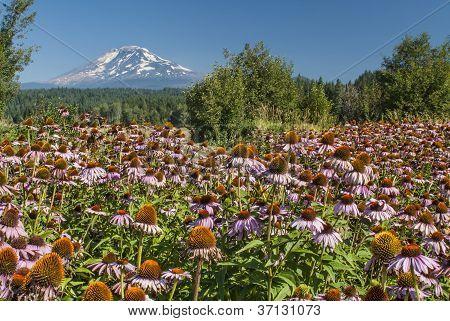 Field Of Purple Echinacea