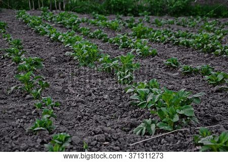 Vegetable Bed With Organic Potatoes. A Potato Bed Is The First Shoots On Earth