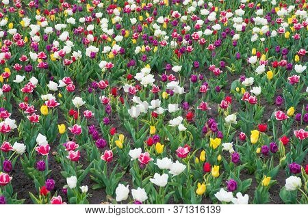 Natural Beauty. Springtime Background. Multicolored Flowers. Tulip Fields Colourful Burst Into Full