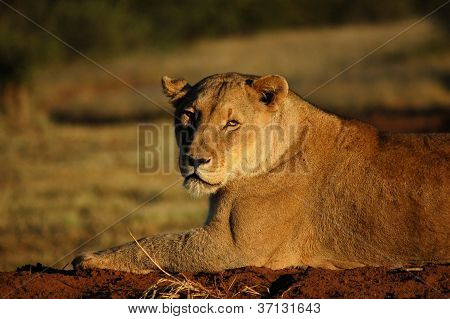 African Lioness in Namibia