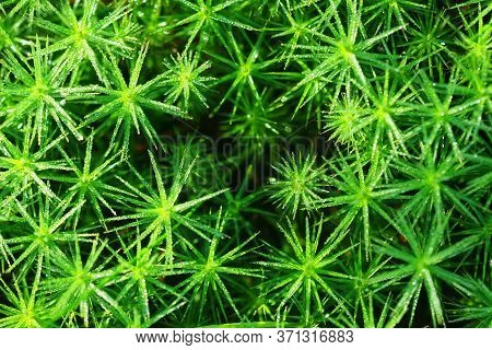 Polytrichum Commune Covered On Dew, Top View. Natural Green Background. Forest Floor, Decorative Mos
