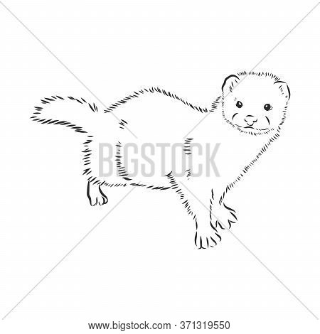 Drawing Of Ferret, Vector Illustration Isolated On White. Mink Animal, Vector Sketch Illustration