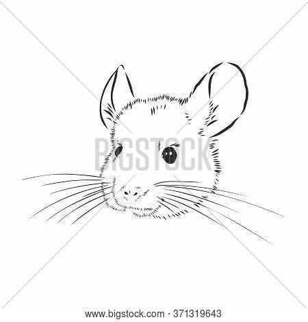 Chinchilla Dog Sketch Style Vector Illustration. Old Hand Drawn Engraving Imitation. Chinchilla Anim