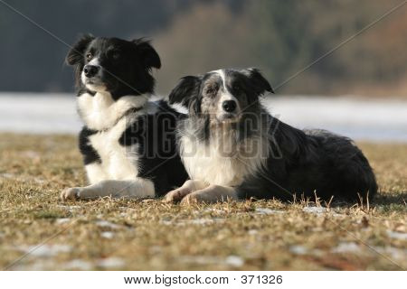 2 border collies together - black-white and bluemerle poster