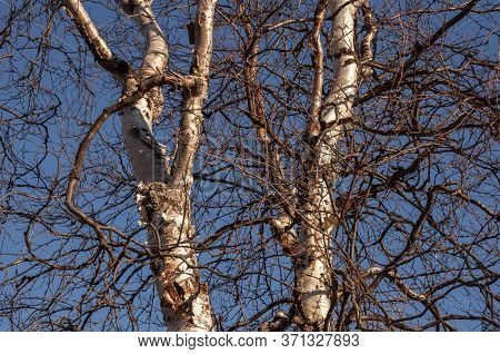 Birch And Fir Naked Branches On The Background Of Deep Blue Sky. Early Spring In The Sundown Lights