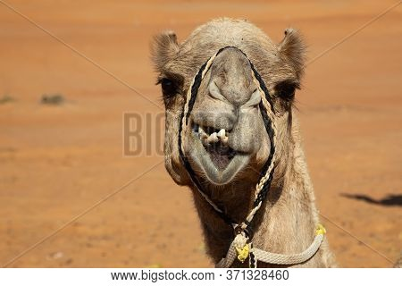 Portrait Of Dromedary Camel In Wahiba Sands Desert Of Oman, Frontal View With Crooked Teeth