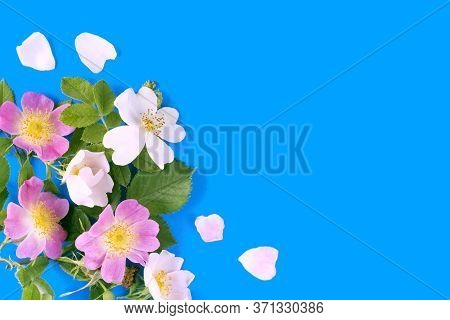 On Blue Background Pink, Rosa Canina Also Known As The Dog Rose
