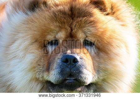 Close Up Face Portrait Of A Broun Chow Chow Dog Breed Image