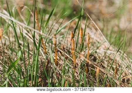 Fruiting Spring Spore-bearing Shoots Of Field Horsetail. Medicinal And Edible Herbs Of Europe