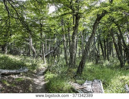 Path in the middle of Antarctic beech forest leading to Laguna Torre glacial lagoon under the Cerro Torre mountain in Los Glaciares National Park in Argentina