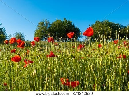 Summer Poppy Field On A Sunny Day. Wild Bright Red Poppy Flowers, Green Meadow. Red Poppies (papaver