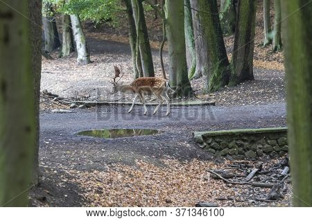 Fallow Deer - Dama Dama Goes Among The Trees. Wild Photo Of Nature.