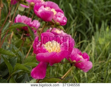 Beautiful Peony Bloom With Pink Petals And Yellow Stamens, Variety Paeonia Lactiflora Largo