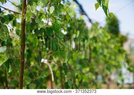 Rows Of Young Birch Trees In Plastic Pots On Plant Nursery