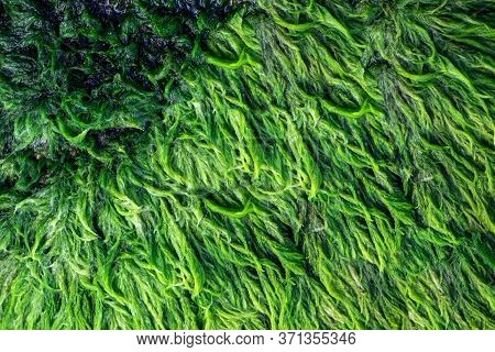Green Algae Close Up Covered Granite Boulder In A Riverbed. Swamp Algae. Background And Texture.