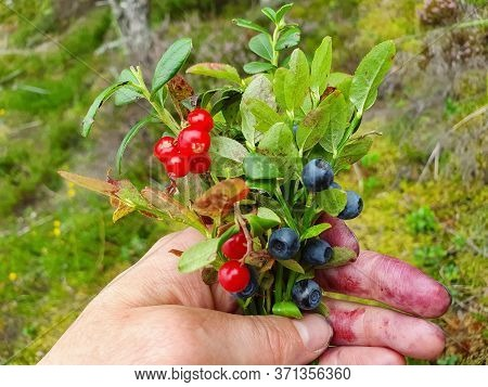 Close Up Of Woman Hand With Tasty Blueberries And Cowberry, Lingonberry, Cranberry, Bilberry, Red Bi