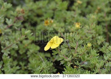 Shrubby Cinquefoil Goldteppich Yellow Flower - Latin Name - Potentilla Fruticosa Goldteppich